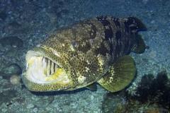 Epinephelus_malabaricus